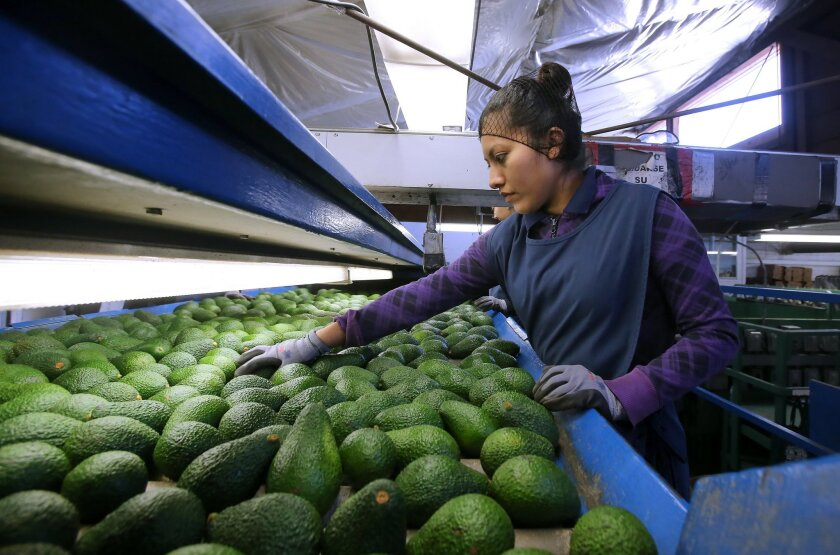 Del Rey Avocado Company quality control employee Lucero Lopez separates blemished fruit along the processing line at the Fallbrook plant on Wednesday. Photo by Don Boomer