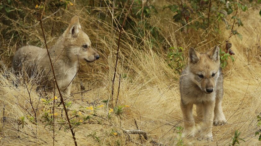 Grey Wolf Pups