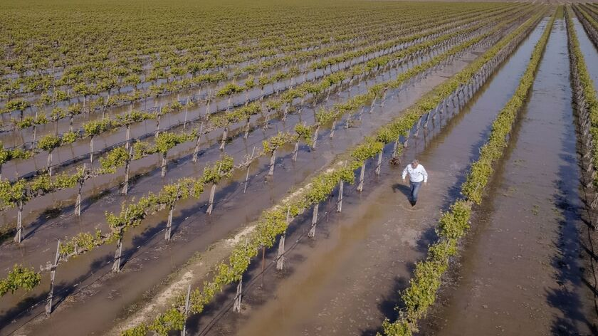 Don Cameron walks in a field of flooded grapes. He's using high flows off the Kings River to flood v