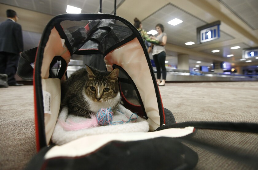 A cat in a carry-on travel bag