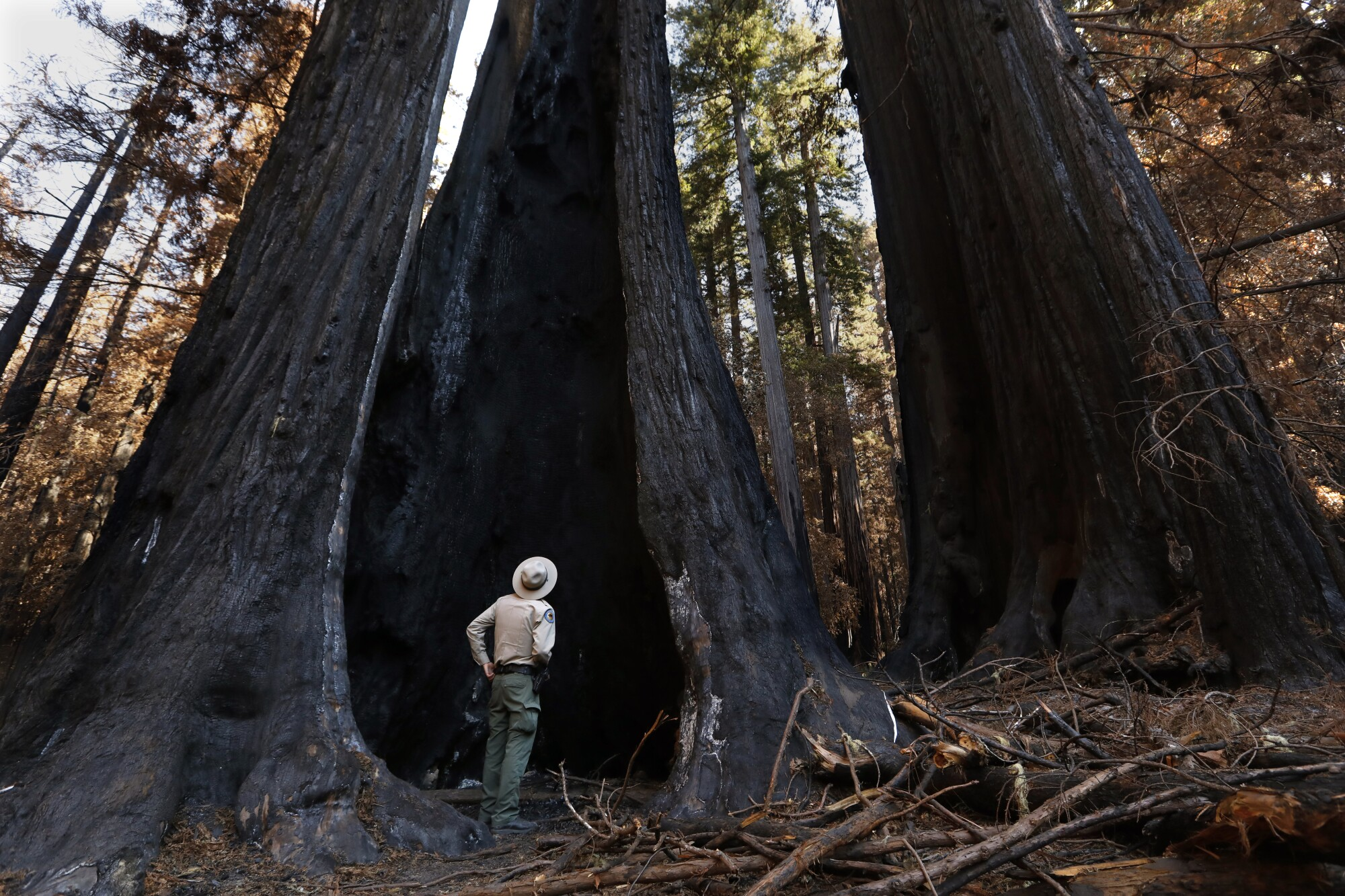 A state parks ranger stands alongside, and is dwarfed by, a charred redwood tree.