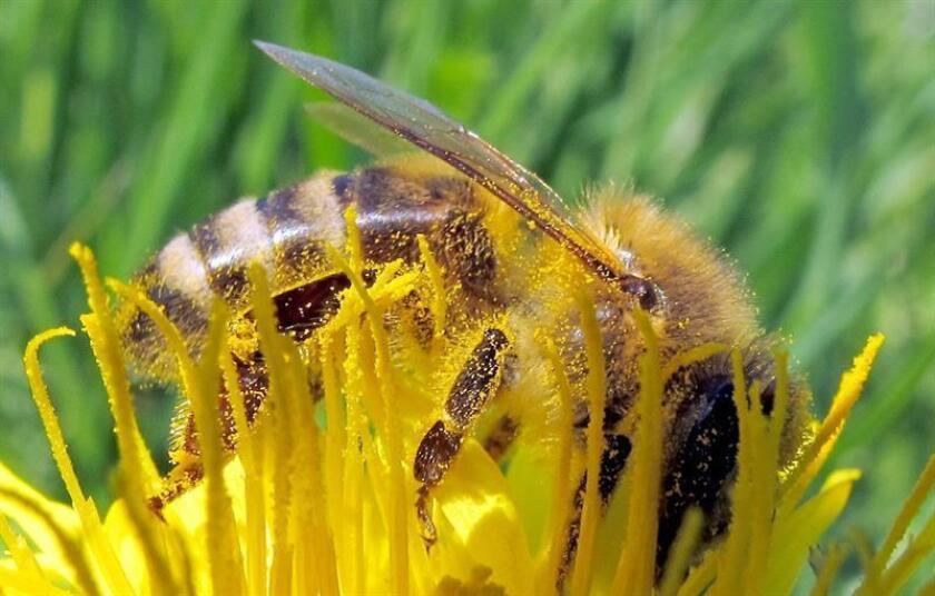 Fotografía de una abeja recolectando polen de una flor. EFE/Archivo