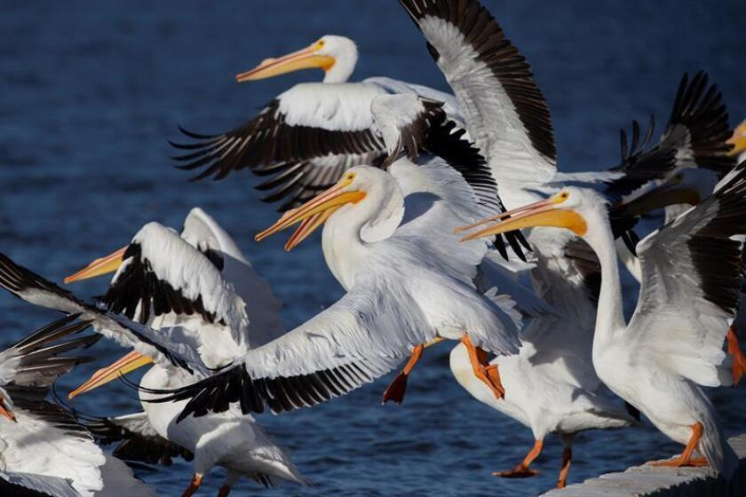 Hundreds of American white pelicans, like the ones in this photo taken Feb. 17, 2019, travel thousands of kilometers (miles) from the US and Canada to settle in the welcoming warm waters of Lake Chapala and Cajititlan Lagoon in the eastern Mexican state of Jalisco. EFE-EPA/Francisco Guasco