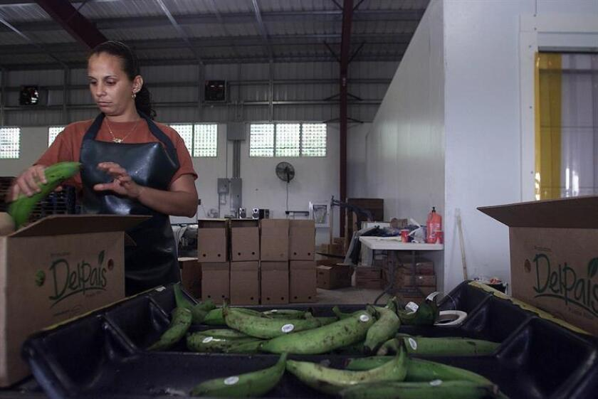 El Departamento de Agricultura (DA) de Puerto Rico decomisó hoy un cargamento ilegal indeterminado de plátanos importados de la República Dominicana. EFE/ARCHIVO