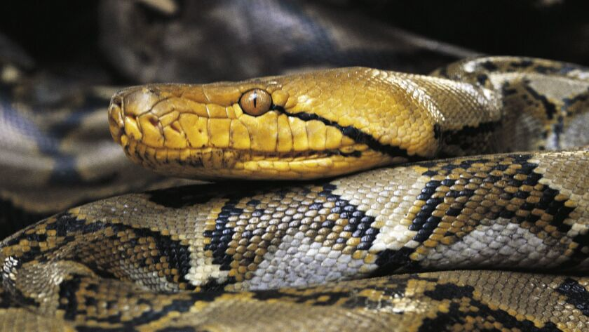 An Asiatic reticulated python.