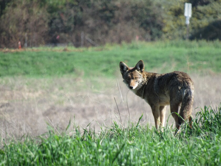 A coyote keeps watch on land near Gillespie Field in El Cajon where a warehouse distribution center is planned to be built.