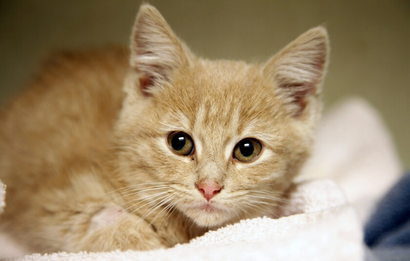 A parasite found in cat feces could reduce humans' fear of failure, a new study found.