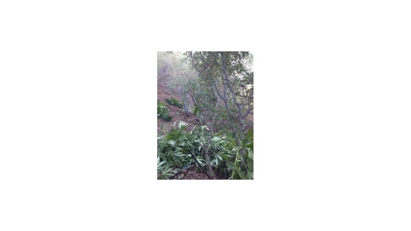 Authorities said they seized 2,740 mature marijuana plants growing in the San Bernardino Mountains on Wednesday.
