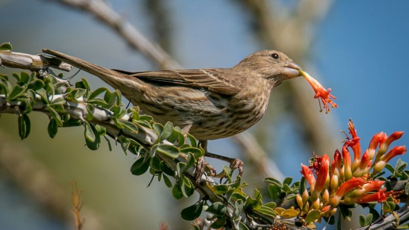 Less colorful than its male counterpart, the female house finch is brown overall with streaks on its belly.