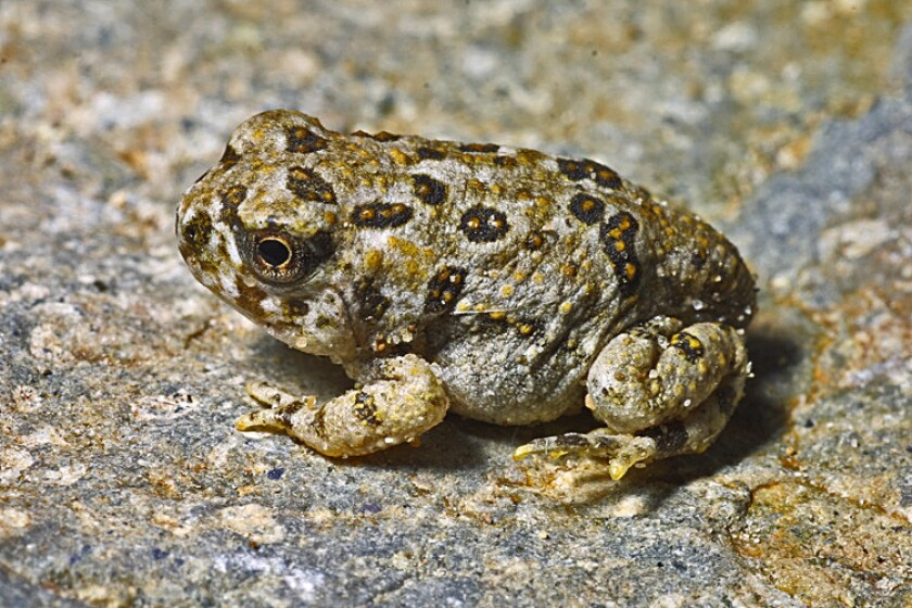 Federally endangered arroyo toad