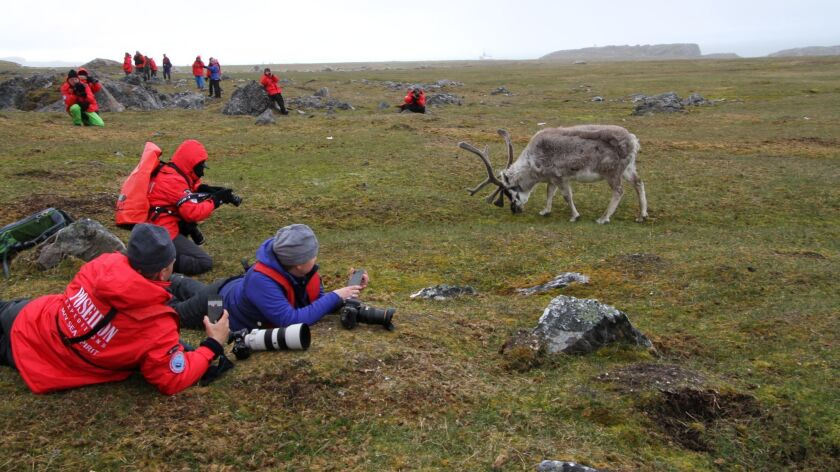 A grazing reindeer on an island in Svalbard, Norway approaches photo tour participants during an Arctic Circle expedition.