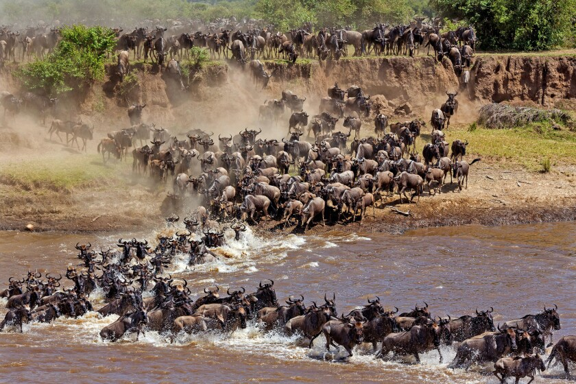 Every year hundreds of thousands of wildebeests and zebras traverse Tanzania's Serengeti in what is known as the great migration.