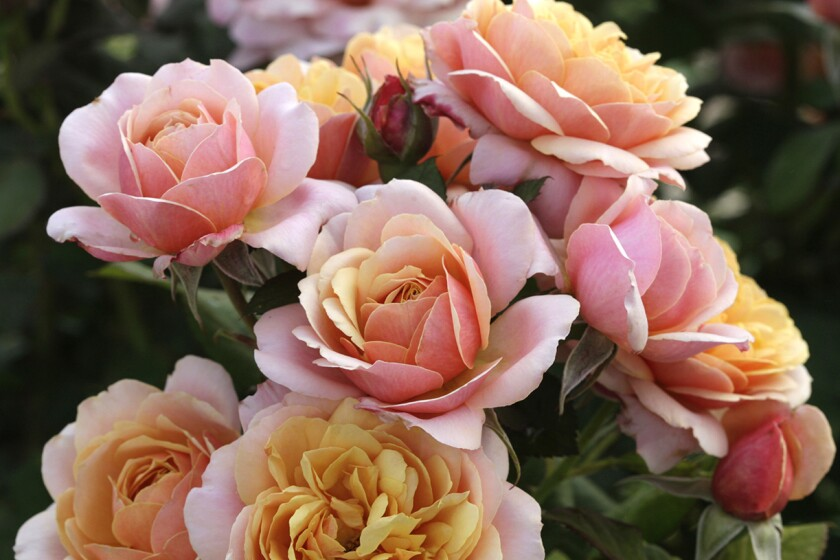 State of Grace is a Bédard grandiflora with romantic old rose blooms.