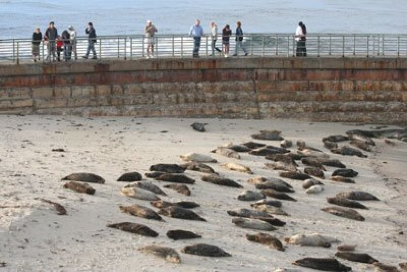 Harbor seals line the beach at Children's Pool. Photo: File
