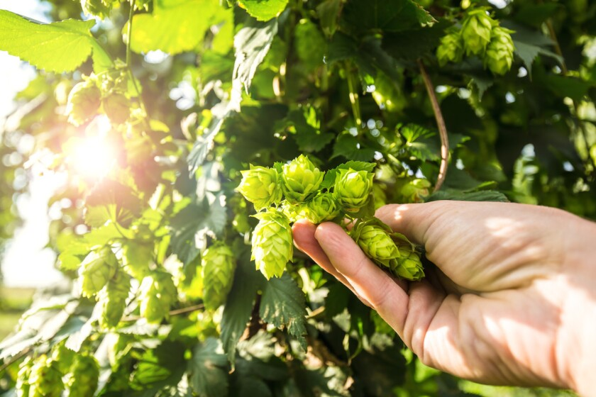 Hops grow on a climbing vine. (iStock)