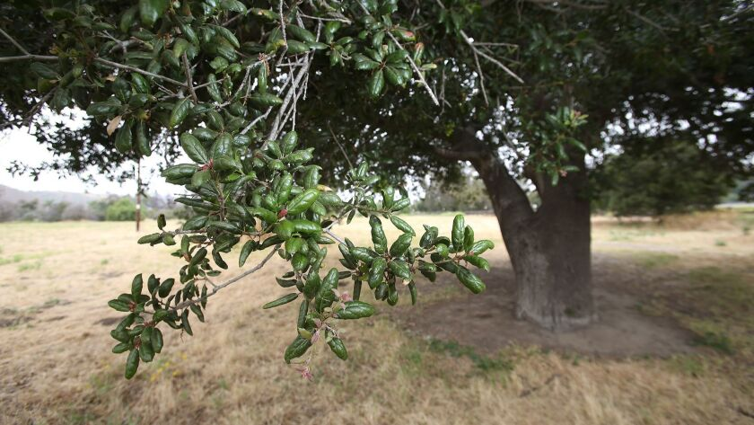"""The """"mother oak,"""" tree, central to the Juaneno Mission Indians of San Juan Capistrano."""
