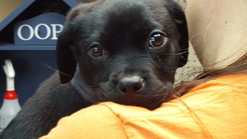 Bindy, believed to be a three-month-old Labrador mix, was found with a rubber band embedded around her neck last week. She has since had surgery, and was adopted by a Carlsbad family Thursday.