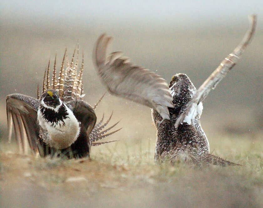 FILE - This May 9, 2008 file photo, shows a male sage grouse fighting for the attention of female sage grouse southwest of Rawlins, Wyo. Visitors to federal rangelands with significant tracts of sagebrush pumped about $1 billion into the economy in 11 western states last year, according to a study