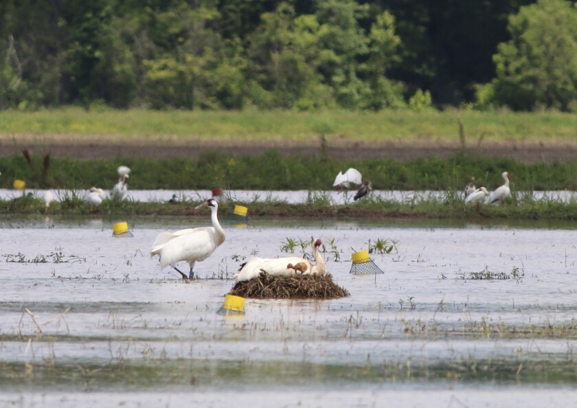 An April 13, 2017 photo provided by the Louisiana Department of Wildlife and Fisheries shows a male whooping crane, L8-11, left, and mate L7-11, on nest, with newly hatched LW1-17 in Avoyelles Parish, Louisiana. Gilvin Aucoin Jr. of Ville Platte, accused of killing one of Louisiana's oldest whooping cranes, is scheduled to enter a guilty plea and be sentenced Friday, Nov. 1, 2019. (Eva Szyszkoski/Louisiana Department of Wildlife and Fisheries via AP)