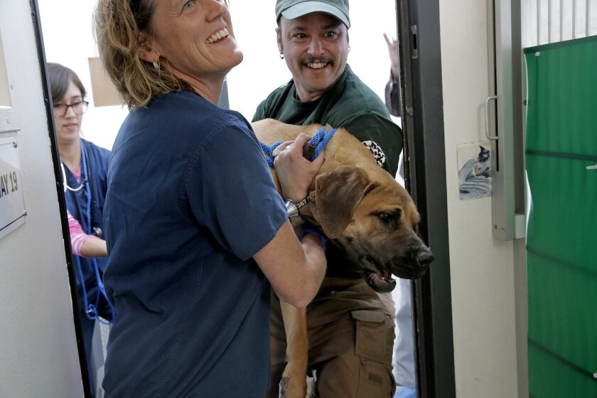 In this photo taken Thursday, March 19, 2015, Carolina Alvarado, left, Dr. Kate Kuzminski, center, and Adam Parascandola, right, carry Delilah, a Tosa Mix, to her new home at the Society for the Prevention of Cruelty to Animals in San Francisco after her arrival from South Korea. More than 50 dogs