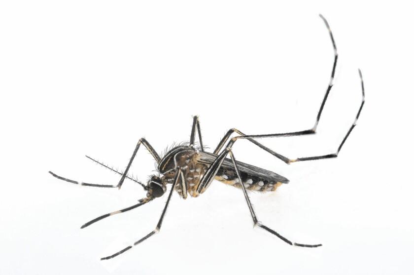 Aedes notoscriptus