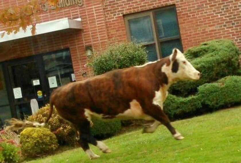 The New Hartford cow.