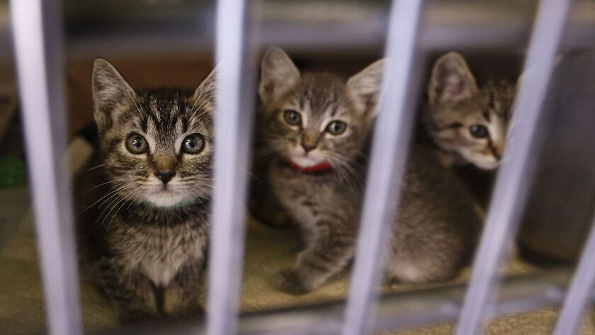 Kittens peer out of their crate at the Chesterfield Square Animal Shelter in Los Angeles. The agency is accepting student volunteers during the LAUSD teachers' strike.