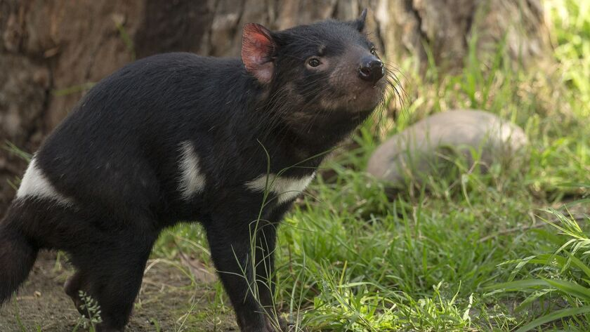 Quirindi (pronounced Kwa-ren-dee), the female of the Tasmanian devil duo now on display at the San Diego Zoo.