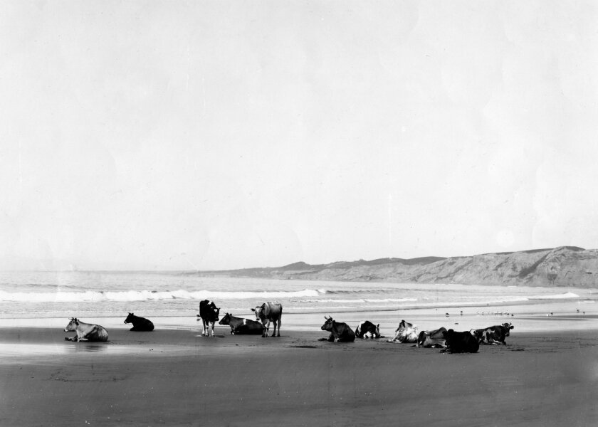 The pastoral 'Cows on the Beach' photo of 1906, from La Jolla Historical Society archives.