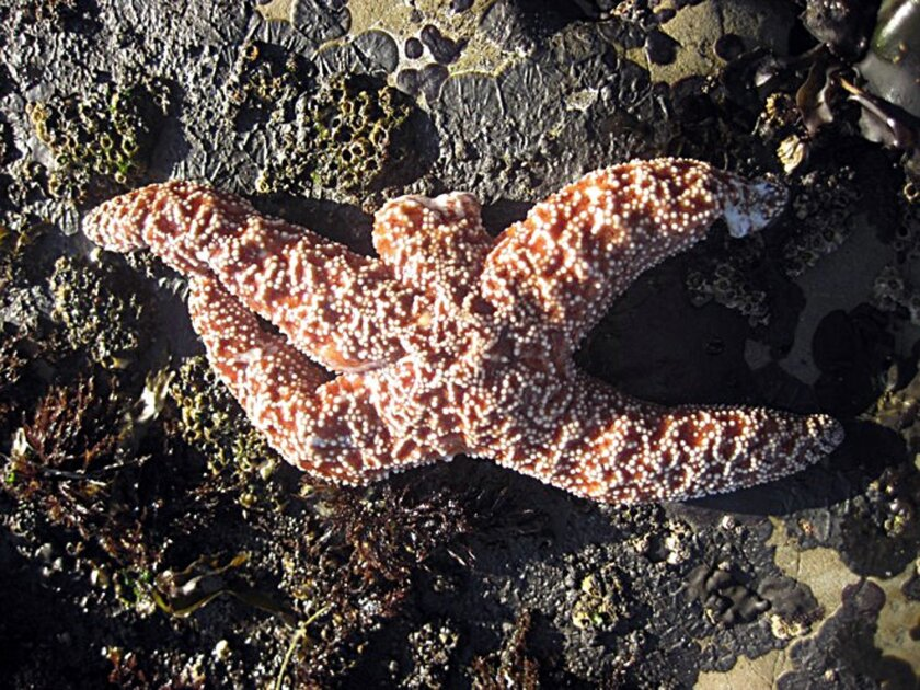 "FILE - This undated file photo released by the Rocky Intertidal Lab at the University of California-Santa Cruz shows a starfish suffering from ""sea star wasting disease"" - it's missing one arm and has tissue damage to another. Marine scientists are finding a large number of dead starfish along the West Coast stricken with the disease that causes the creatures to lose their arms and disintegrate. The affliction causes white lesions to develop, which can spread and turn the animals into ""goo,"" and has killed up to 95 percent of a particular species of sea star in some tide pool populations. (AP Photo/Laura Anderson, Rocky Intertidal Lab UC Santa Cruz)"
