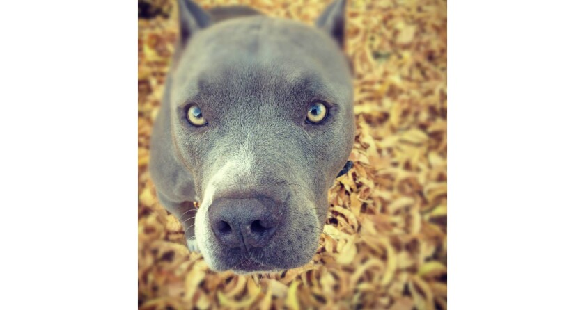 Burberry, a 6-year-old pit bull, was shot and killed by a San Diego police officer. The incident is under investigation.