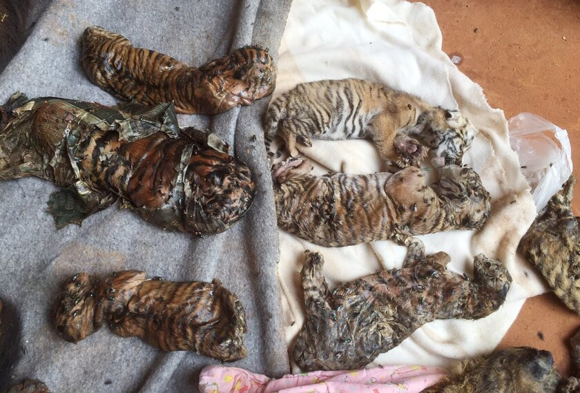 "In this photo released by the Department of National Parks, Wildlife and Plant Conservation, the remains of tiger cubs and a bear are laid out at the ""Tiger Temple"" in Saiyok district in Kanchanaburi province, west of Bangkok, Thailand, Wednesday, June 1, 2016.  A Thai national parks official says"