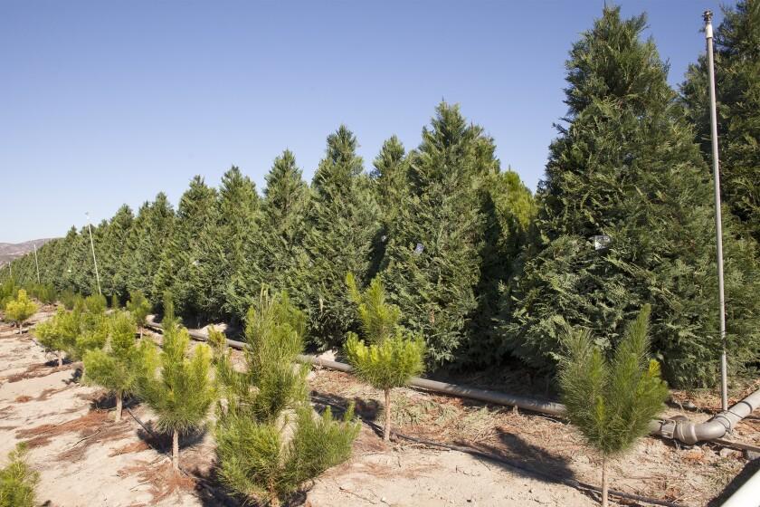 Peltzer Pines trees