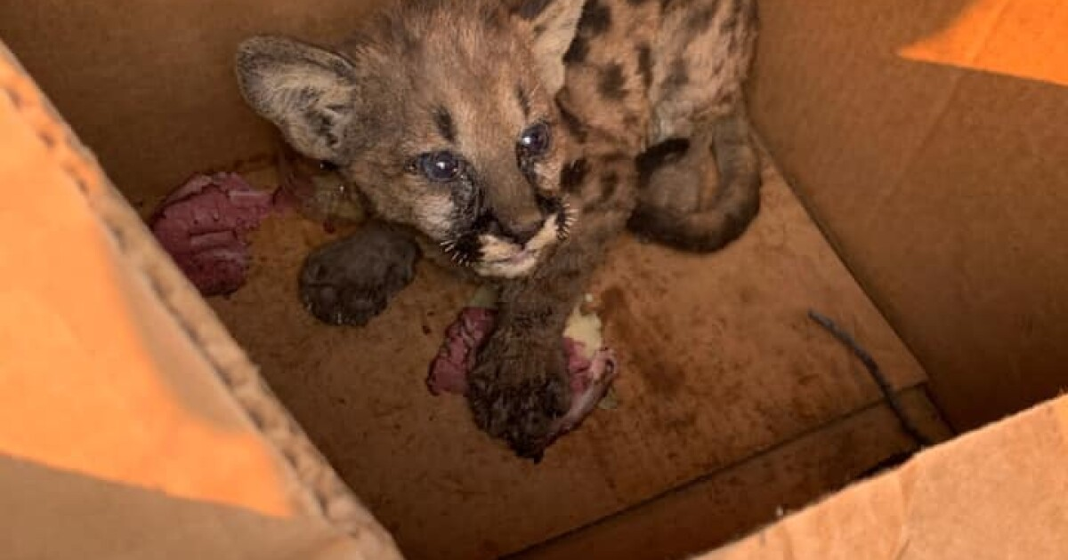 4-pound mountain lion cub plucked from Zogg fire with burned paws, singed whiskers