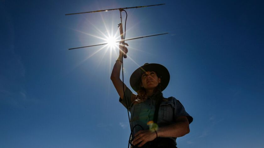 Biologist Kristen Lalumiere scans to detect a signal emitted from a transmitter attached to a desert