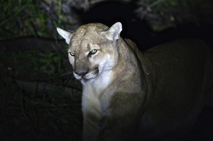 Anadult male mountain lion taken with a remote camerain California. Wildlife officials in Colorado confirmed that a trail runner fought back during an attack and killed a juvenile mountain lion by suffocating it.