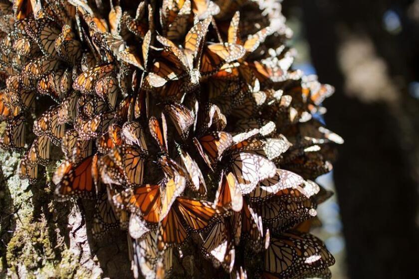 Fotografía cedida hoy, miércoles 7 de noviembre de 2018, de una vista general de mariposas monarca en el santuario de Michoacán (México). EFE/Alianza-WWF-Telce/SOLO USO EDITORIAL/NO VENTAS