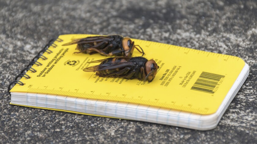 Asian giant hornets on a notepad for scale