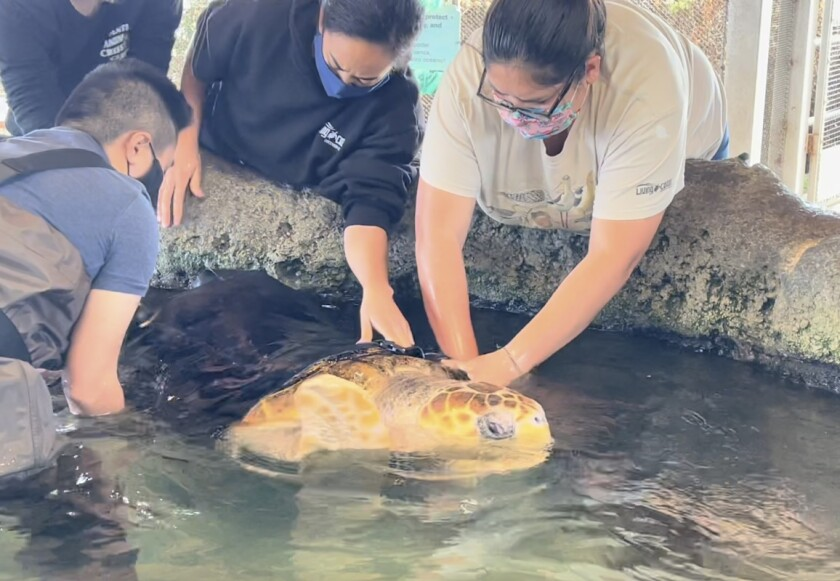 Living Coast Discovery Center staff help Sapphire the sea turtle with wetsuit.