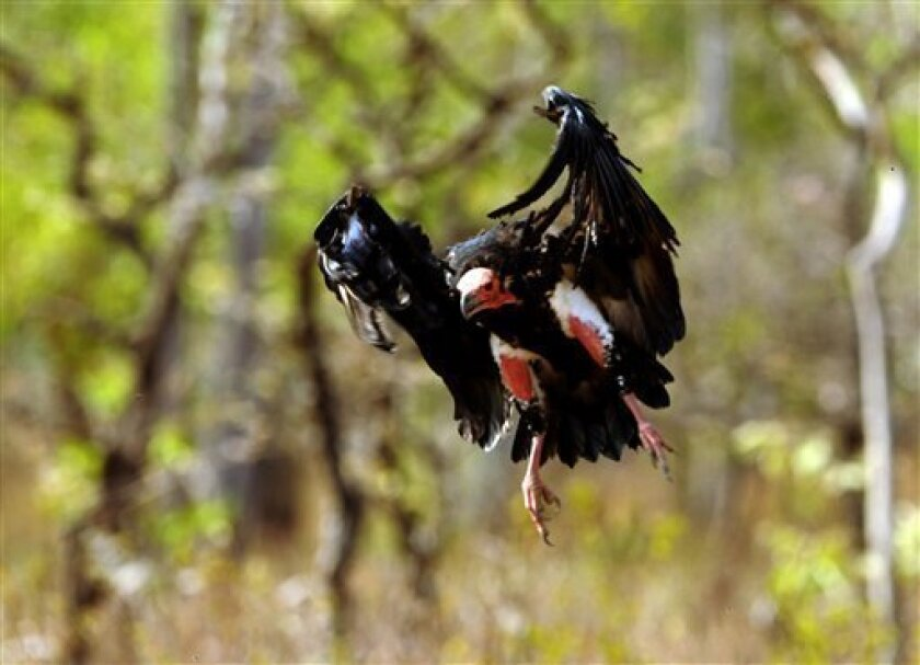 In this April 26, 2011 photo, a young vulture flies while looking for food near a vulture restaurant in Dangplat, Cambodia. These super scavengers may be regarded as messengers of death and doom, but in Asia, it is they who have suffered one of the natural world's greatest population crashes of recent times. (AP Photo/Jonathan C Eames)