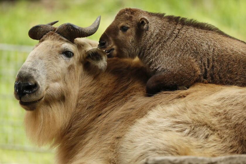 Mei Ling, a baby takin, which was born last month.
