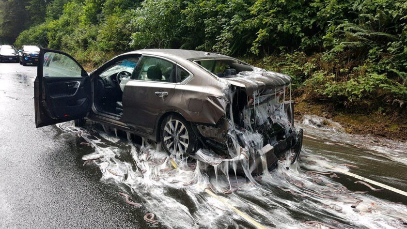 Slime eels, otherwise known as Pacific hagfish, cover Highway 101 after a flatbed truck carrying them in tanks overturned near Depoe Bay