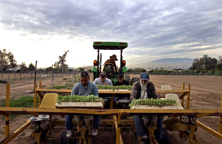Bob Knight drives a tractor that pulls a transplanter as workers drop cauliflower seedlings into spindles for planting on Jan. 7 in Redlands. L.A. Unified is buying vegetables from local farmers such as Knight to encourage healthful eating among students.