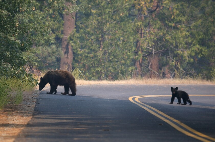 A bear and her cub cross a road in Yosemite National Park.