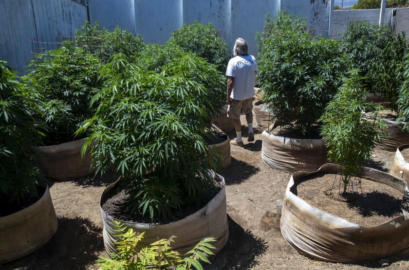 Kendall Steinmetz checks on some of his cannabis plants