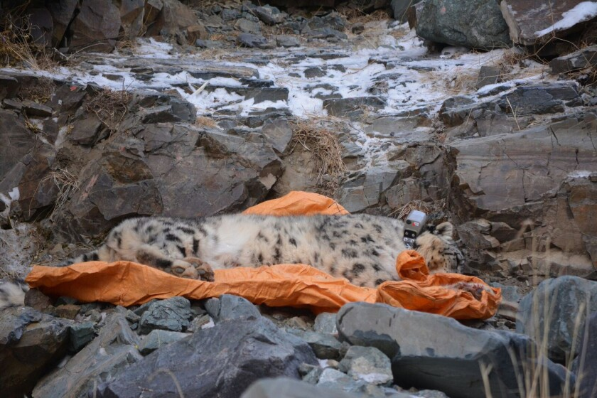 A sedated snow leopard