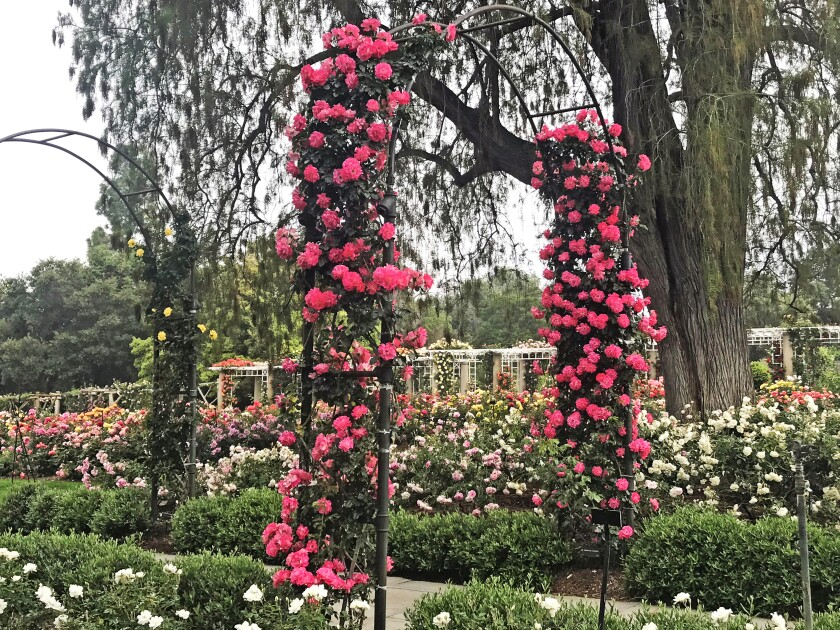 Even the trellises are laden with roses at the Huntington.