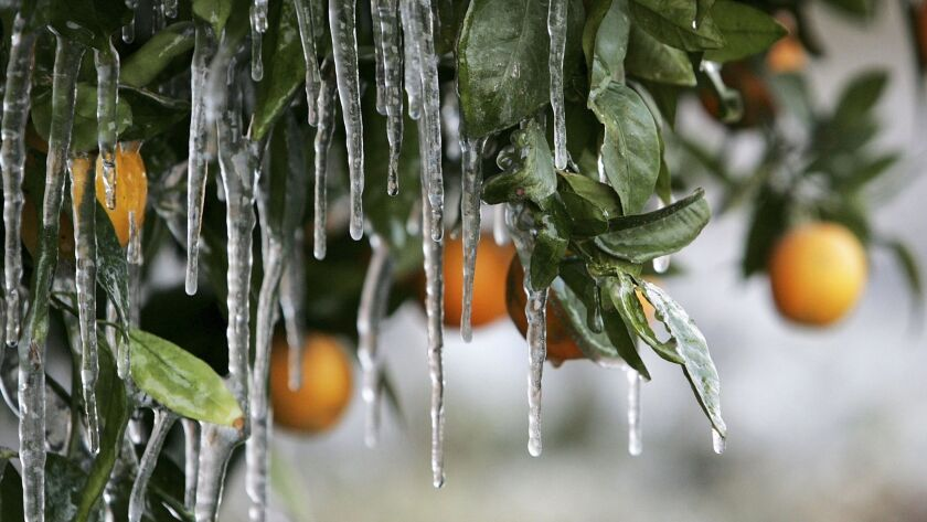 So far this winter we haven't seen the kind of freezing temperatures that damaged an estimated 70% of California's citrus crops in January 2007. But pay attention to forecasts, especially in canyon areas.