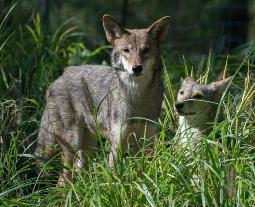 A mix of federal, state and local regulations govern how people can deal with coyotes that are deemed a nuisance or a threat to public safety. (AP Photo/Wildlife Conservation Society, Julie Larsen Maher)