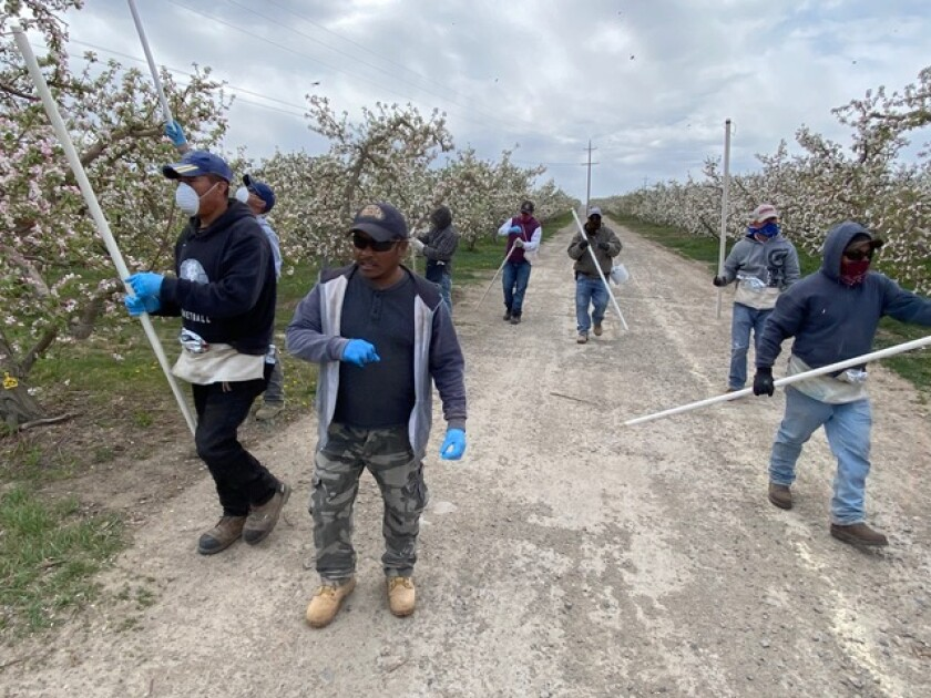 Farmworkers in an apple orchard in Washington's Yakima Valley, where growers say that coronavirus regulations could hurt their businesses, leading to price hikes and shortages.